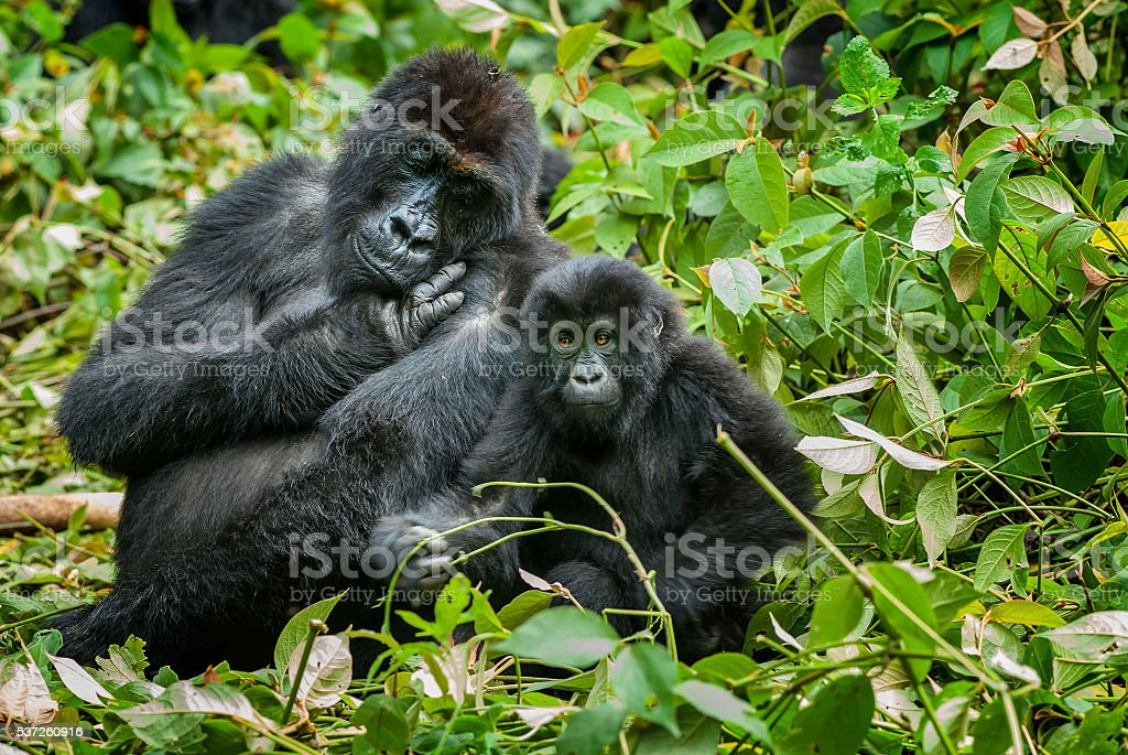 mother and son Eastern Lowland Gorilla, Congo, wildlife shot stock photo
