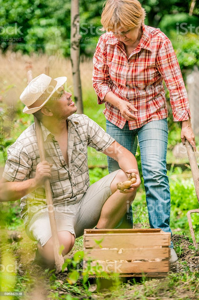 Mother and Son Harvesting Potato stock photo