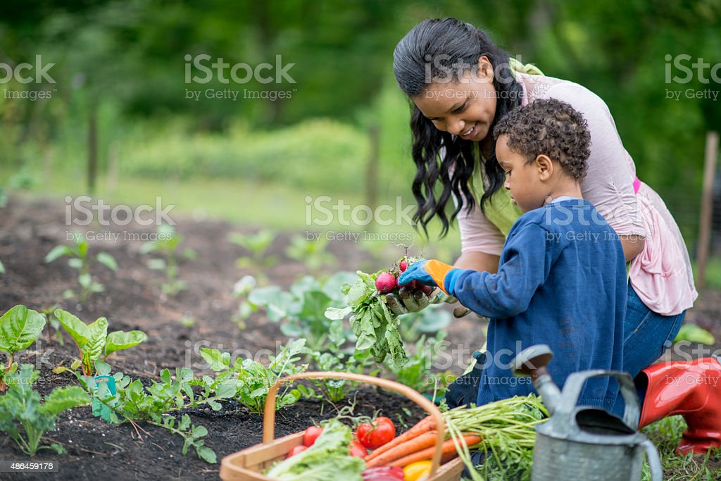 Mother and Son Harvesting Their Vegetable Garden stock photo