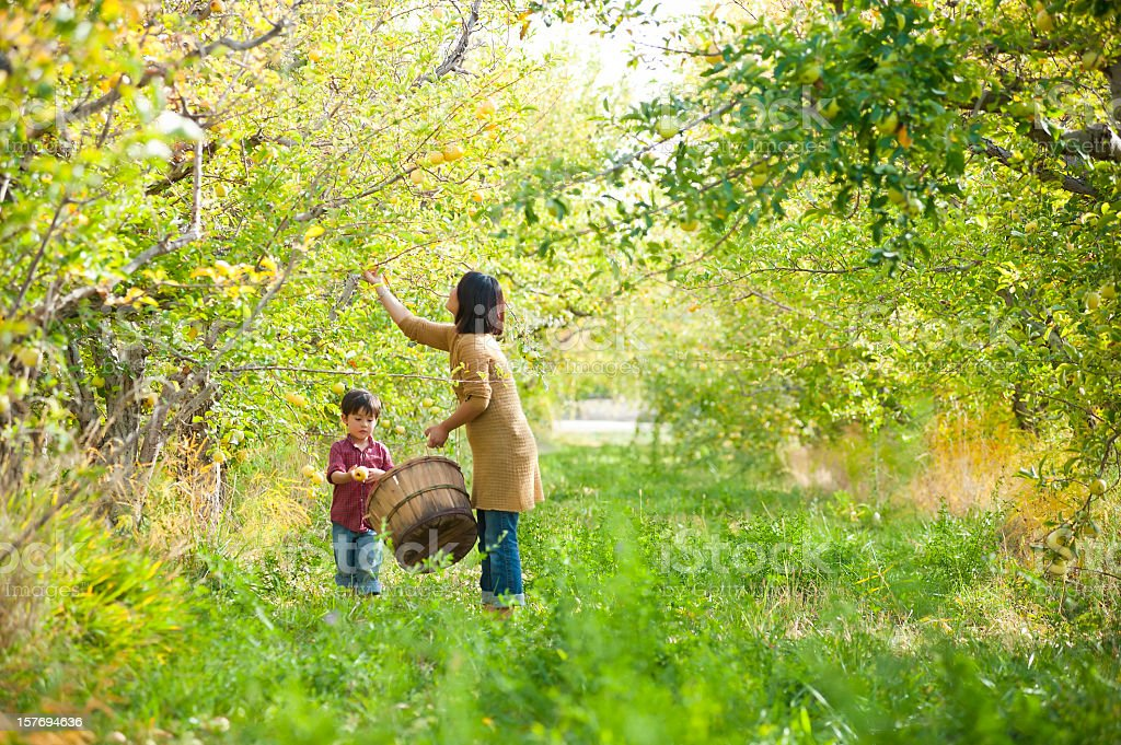 Mother and son picking apples together in orchard stock photo