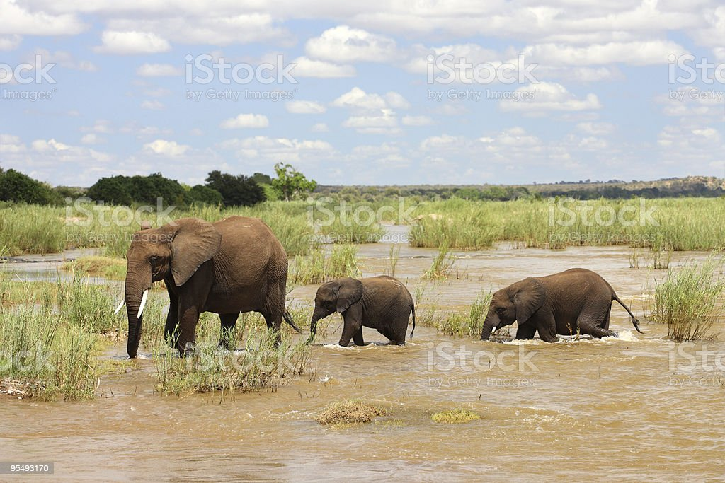 Mother and two baby african elephants crossing a river. royalty-free stock photo