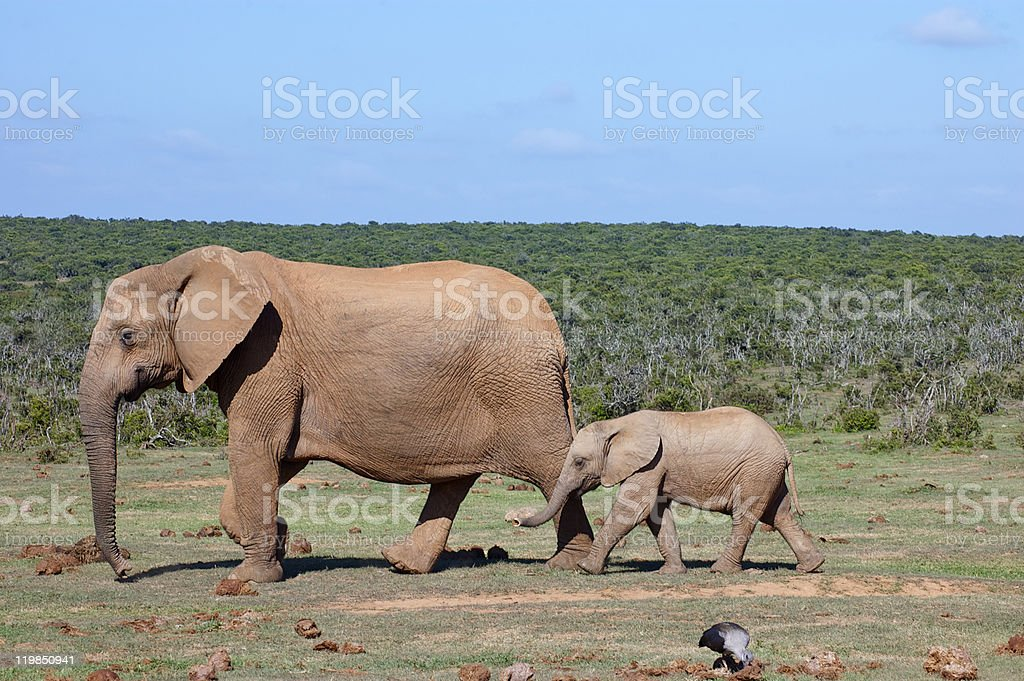 Mother and young Elephants stock photo