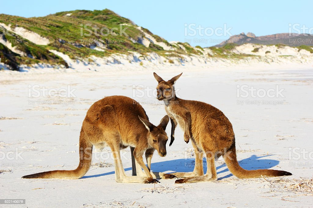 Mother and Young Kangaroo interacting on Beach, Cape Le Grand stock photo