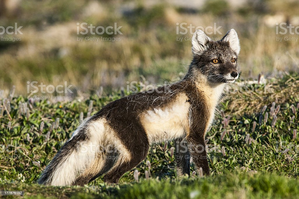 Mother Arctic Fox Near Her Den stock photo