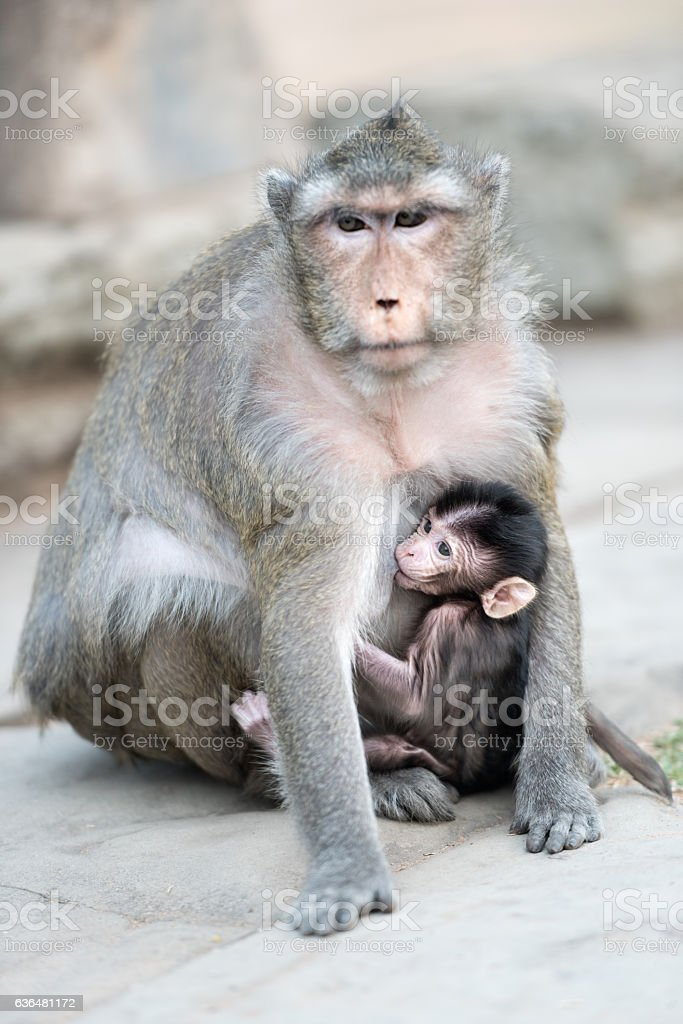 Mother Baboon nursing her Baby, Angkor Wat, Cambodia stock photo
