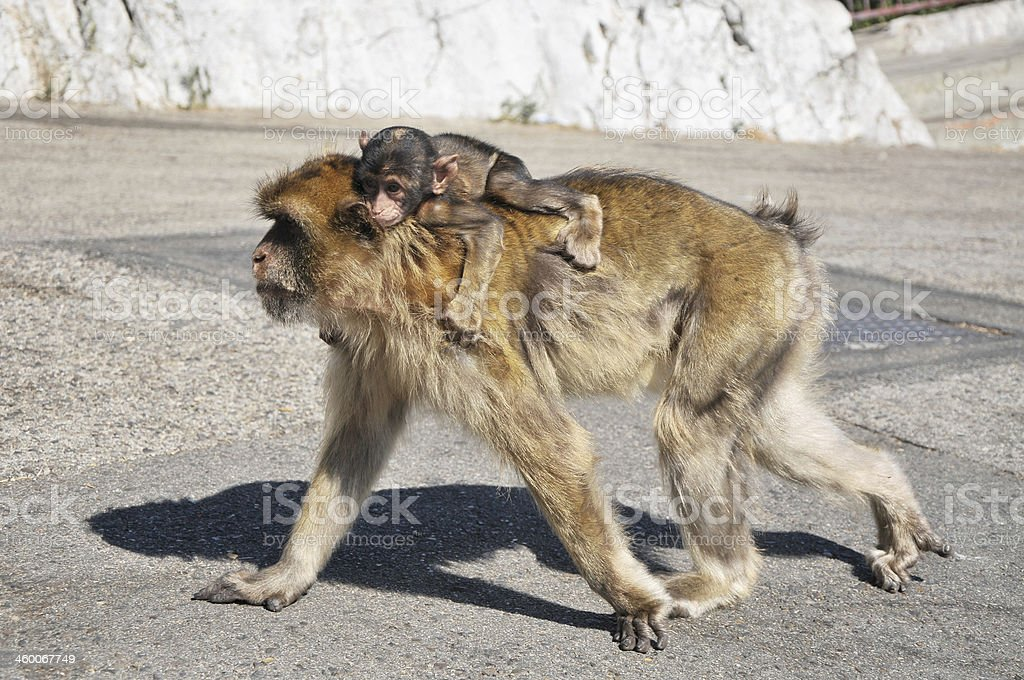Mother & Baby Barbary Apes, Gibraltar stock photo