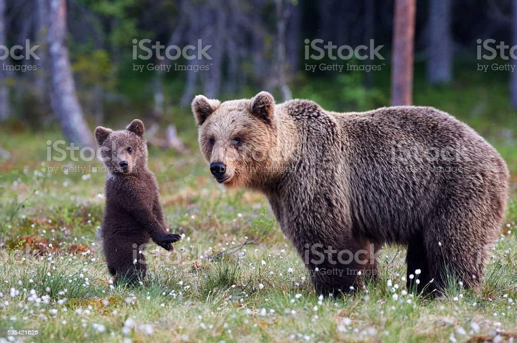 Mother bear and cub stock photo