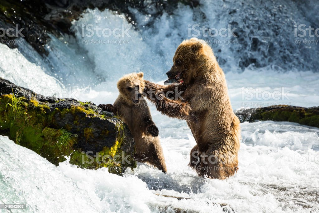 Mother bear disciplines her cub for stealing her fish stock photo