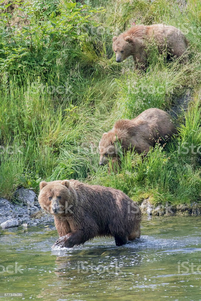 Mother bear leads cubs into river to learn to fish. stock photo