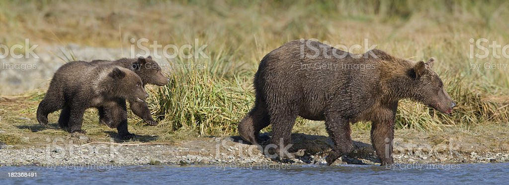 Mother Bear with Cubs royalty-free stock photo