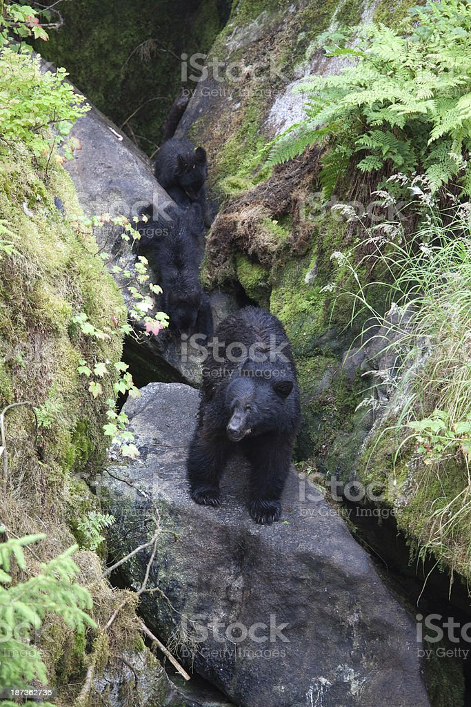 Mother Bear with Cubs stock photo
