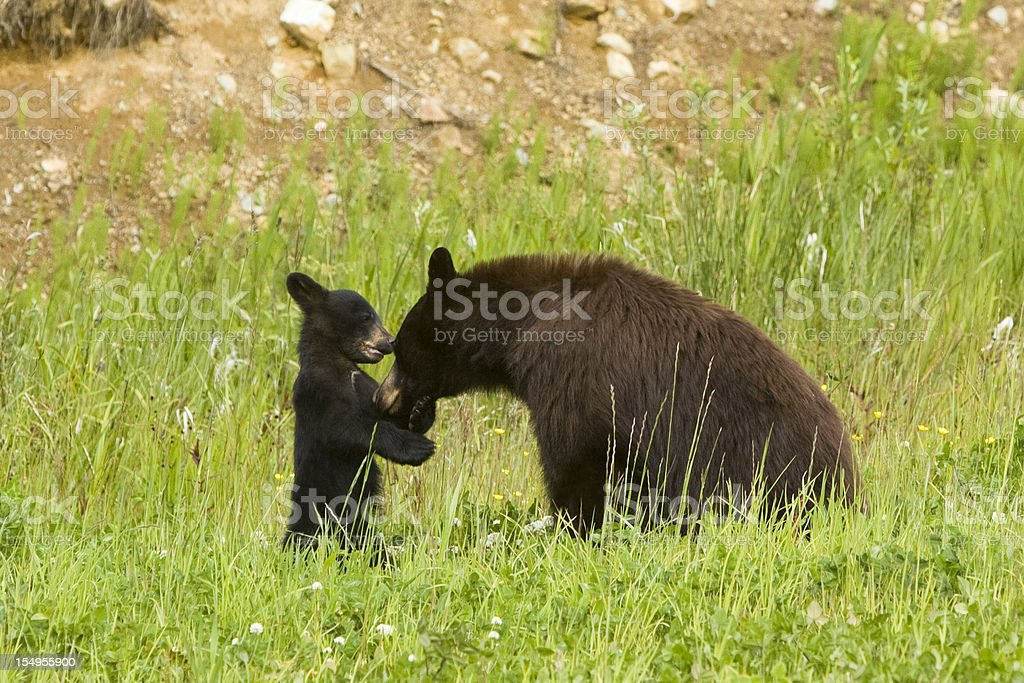mother bear with her cub. stock photo
