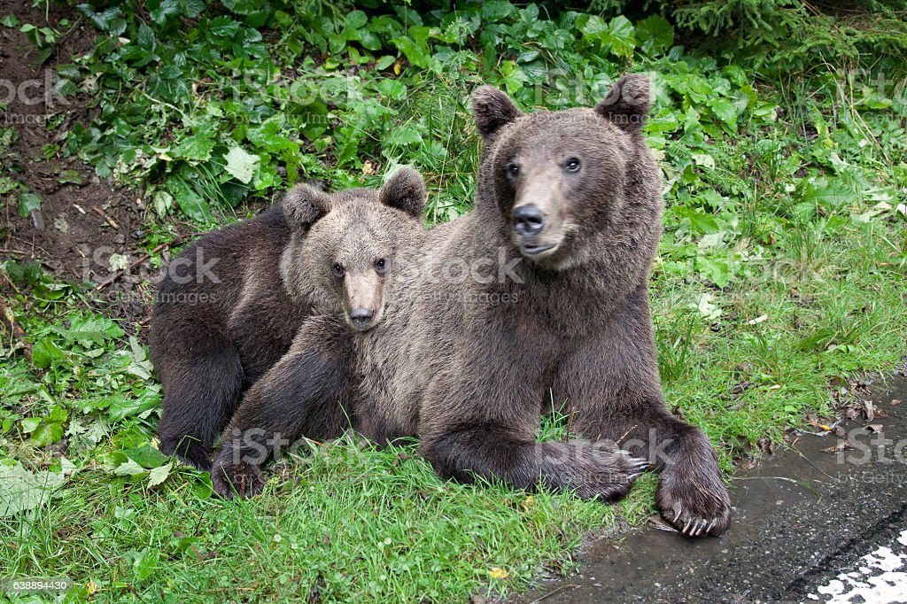 Mother brown bear with her cub stock photo