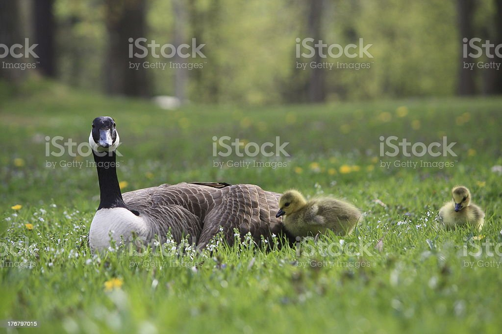 Mother Canadian Goose & Goslings royalty-free stock photo