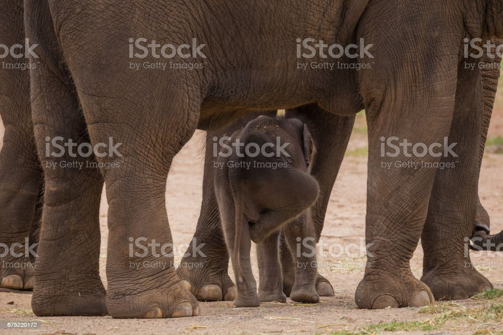 Mother cares for her baby elephant between her legs stock photo
