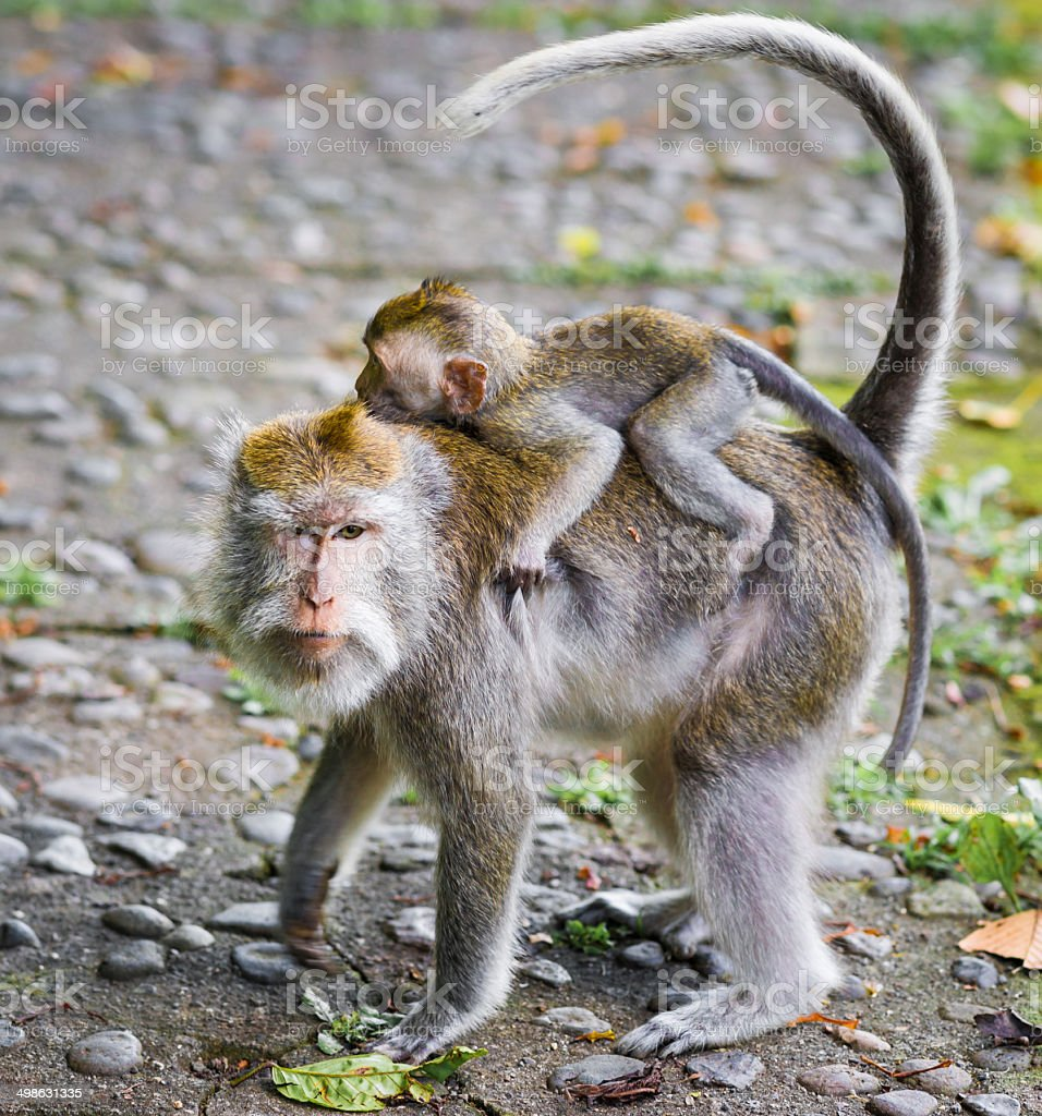Mother Carring Baby of Long-tailed Macaques on Bali, Indonesia royalty-free stock photo