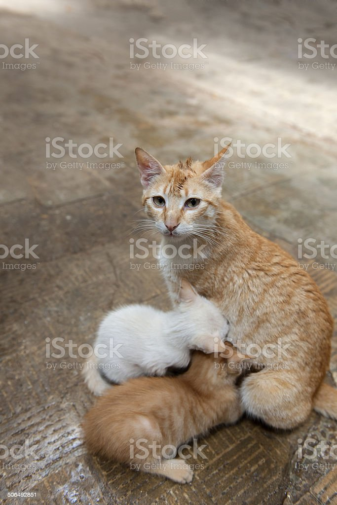 Mother cat Feeding Kittens in Morocco, Africa stock photo