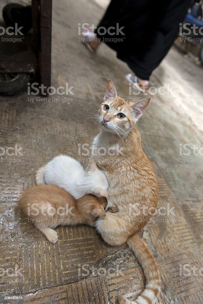 Mother cat Feeding Kittens, Medina, Fez, Morocco stock photo
