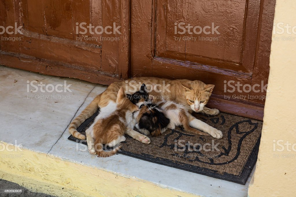Mother cat feeding three kittys stock photo