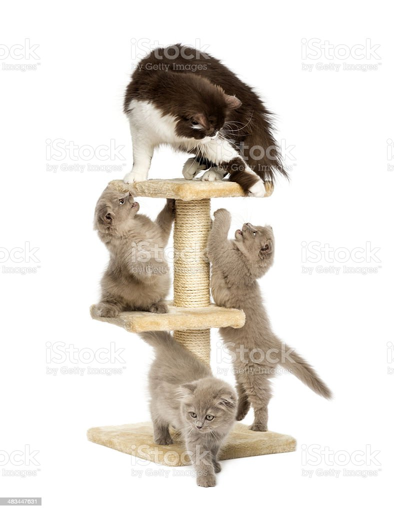 Mother cat playing with her kittens stock photo