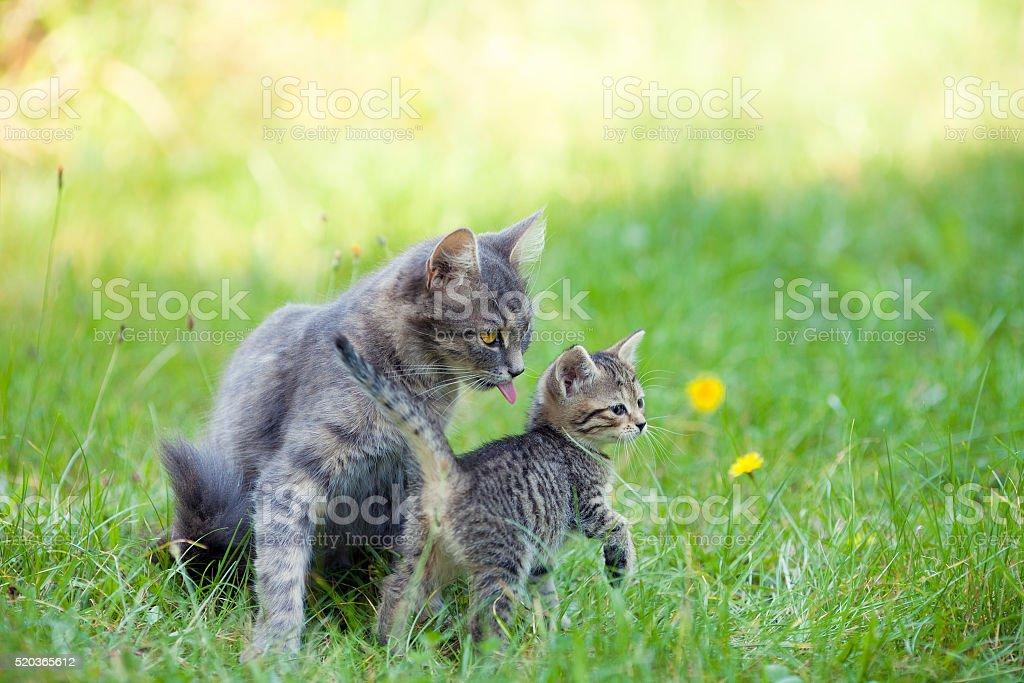 Mother cat walking with little kitten stock photo