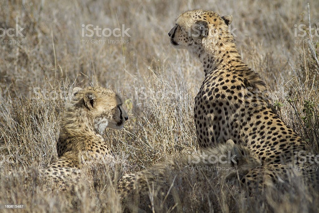 Mother cheetah and cubs in long grass, Kenya, East Africa stock photo