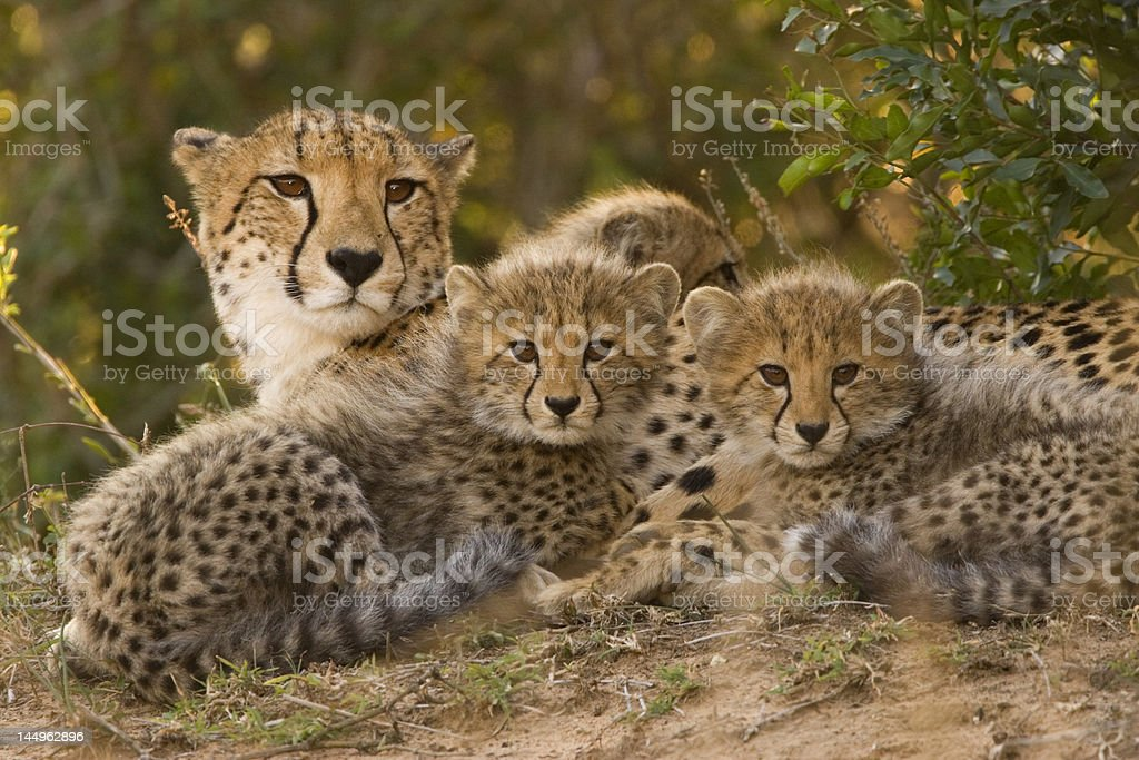 mother cheetah and cubs stock photo