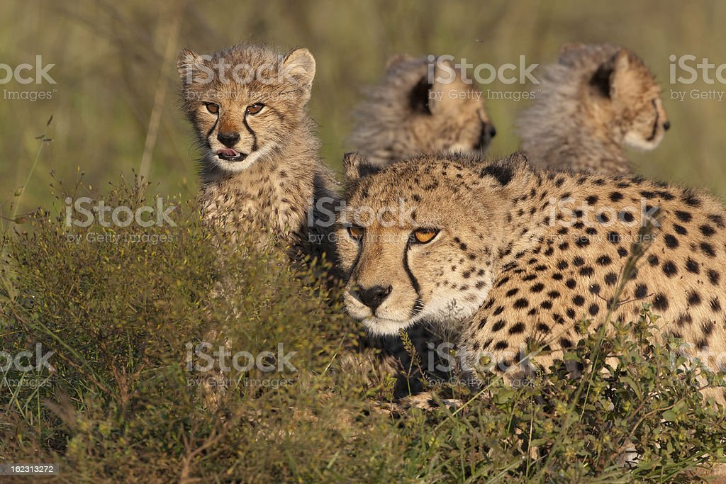 Mother Cheetah and Cubs royalty-free stock photo