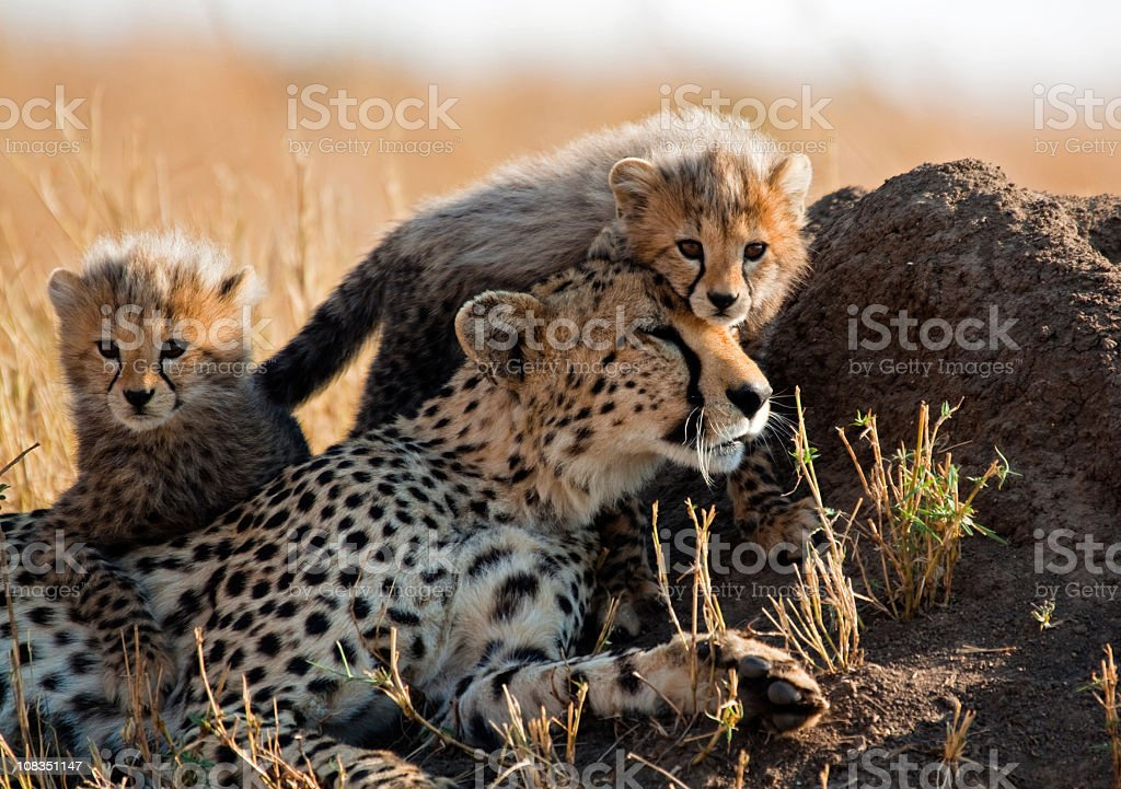 A mother cheetah and her adorable Cubs royalty-free stock photo