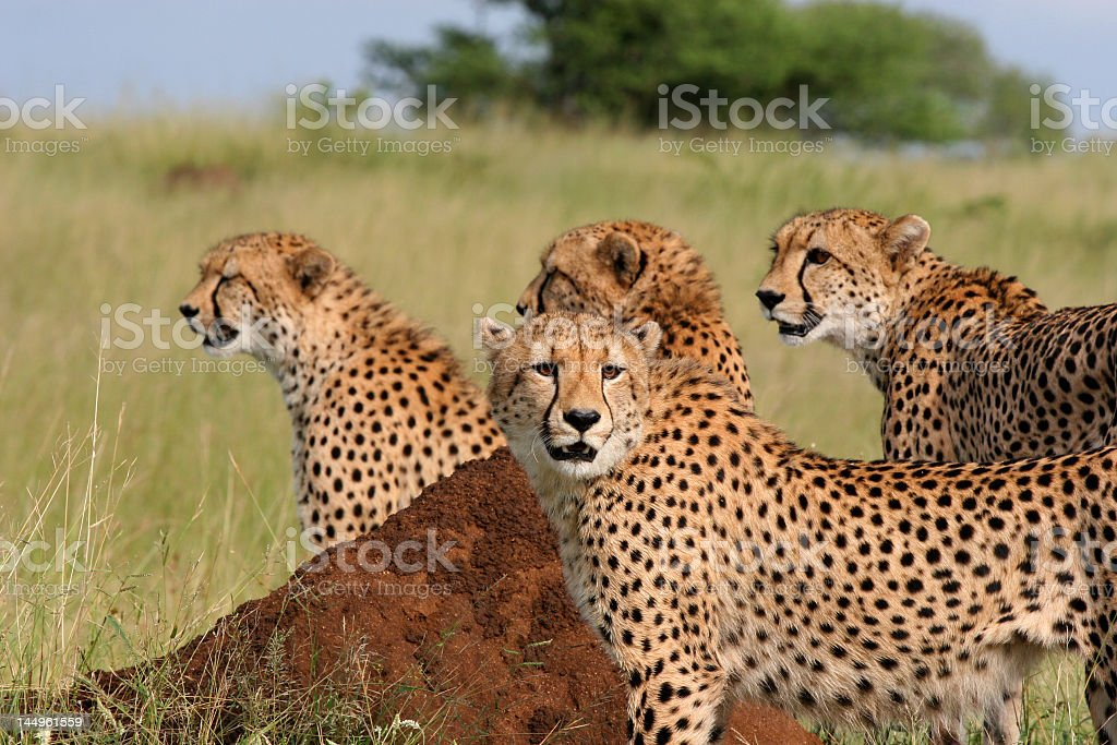 Mother Cheetah with Three Sons stock photo