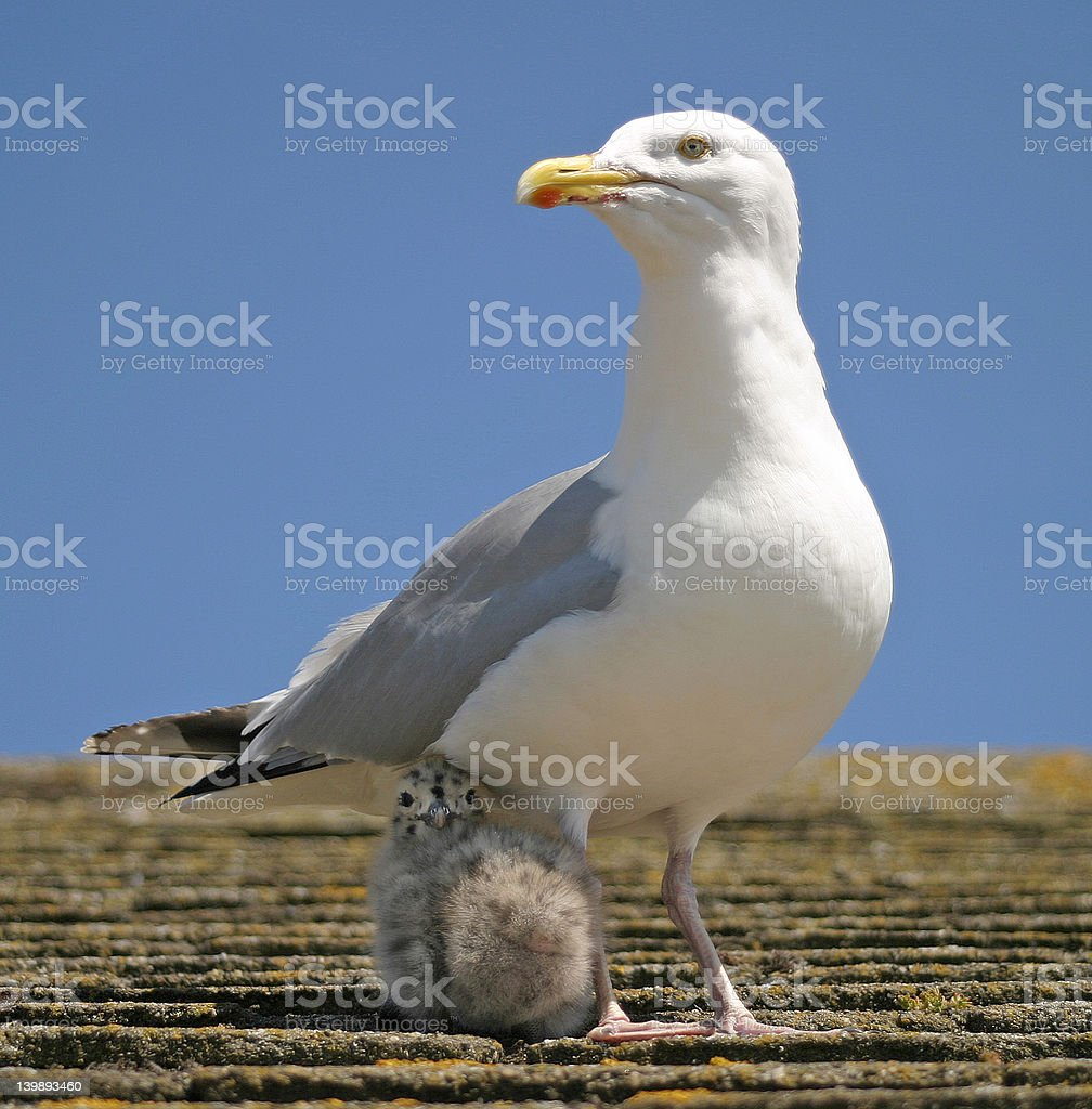 Mother & Chick royalty-free stock photo