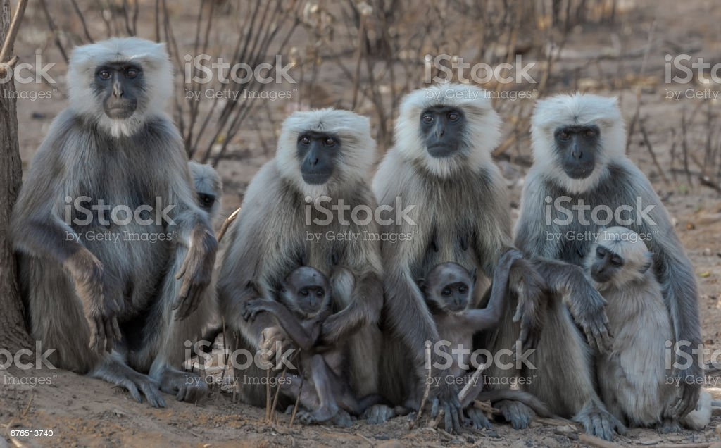 Mother & Child - Langur Family (and one pregnant langur) stock photo