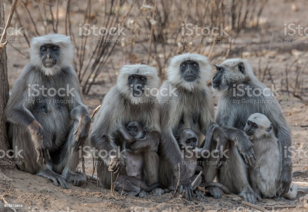 Mother & Child - Langur Family stock photo