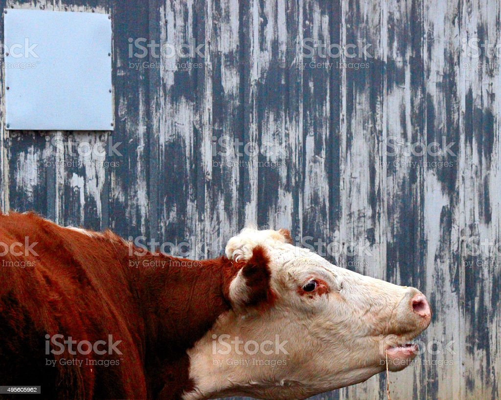 Mother cow calling for her baby stock photo