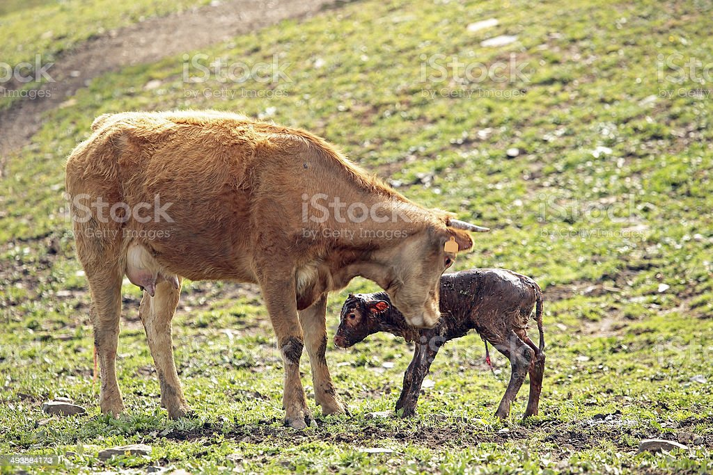 Mother cow with newborn calf stock photo