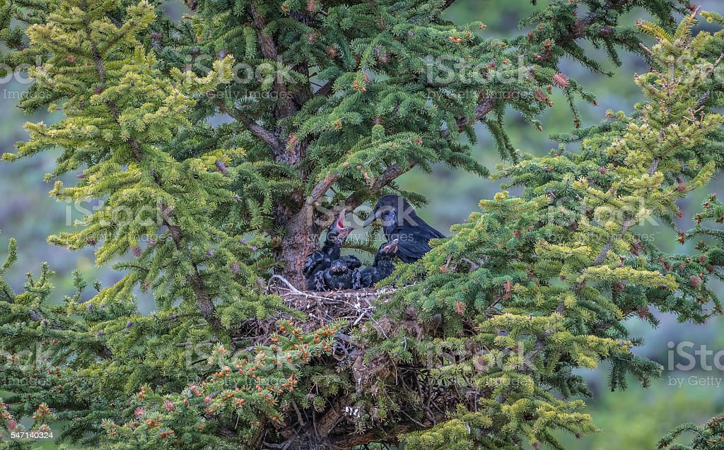 Mother crow and her children on the pine tree stock photo