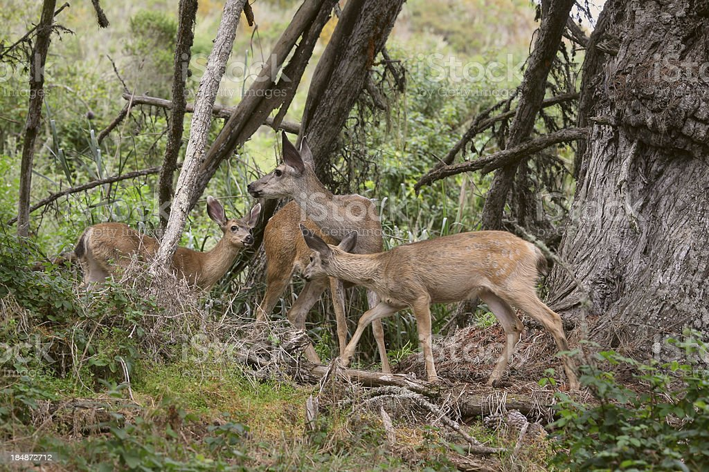 Mother Deer and Fawns stock photo