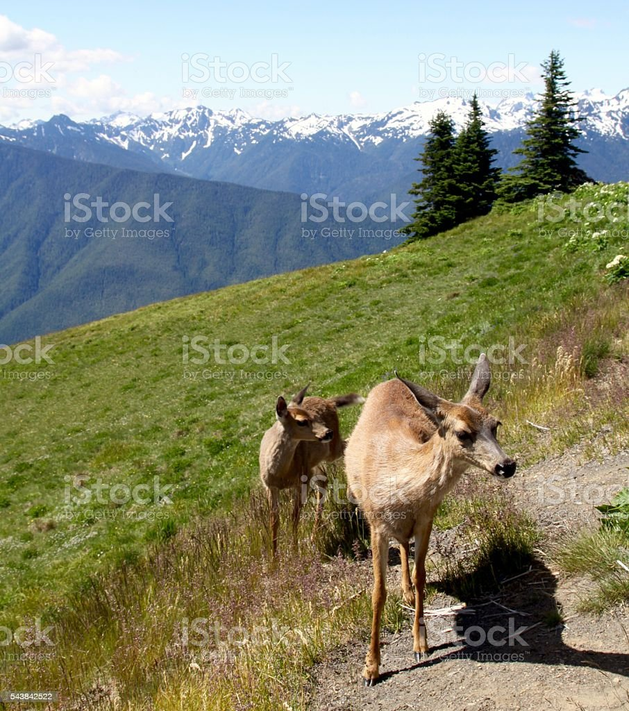 Mother Deer And Her Fawn On Hurricane Ridge stock photo