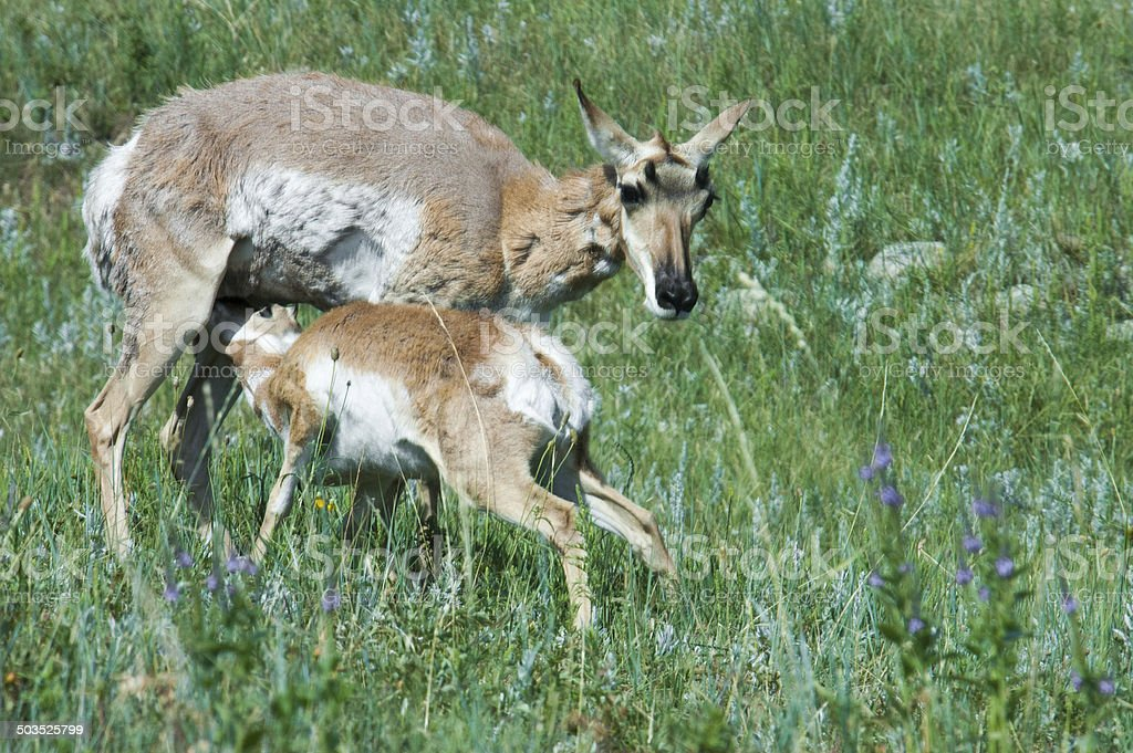 Mother deer feeds her baby fawn royalty-free stock photo