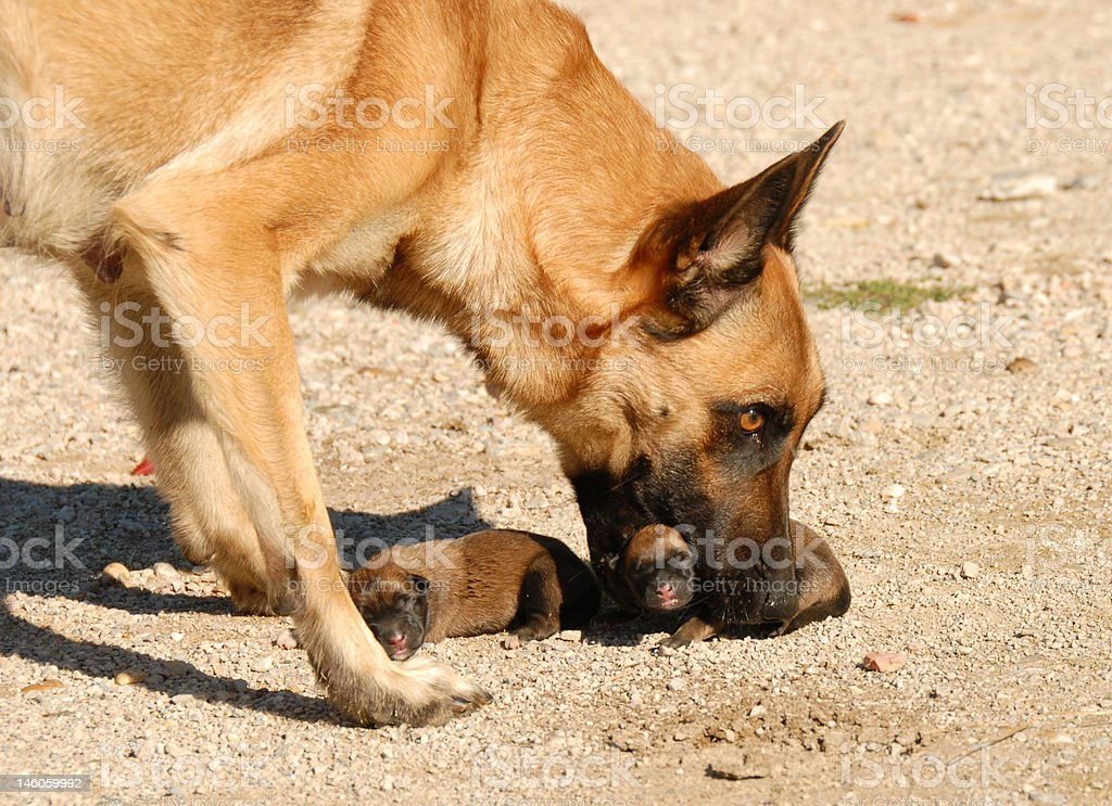 mother dog and puppies royalty-free stock photo