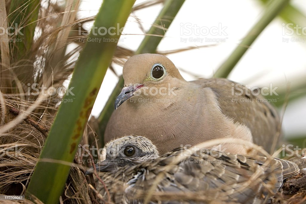 Mother Dove and Fledgling Chick in Nest royalty-free stock photo