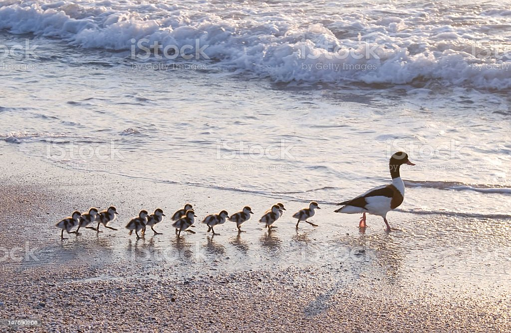 A mother duck and a line of her ducklings stock photo
