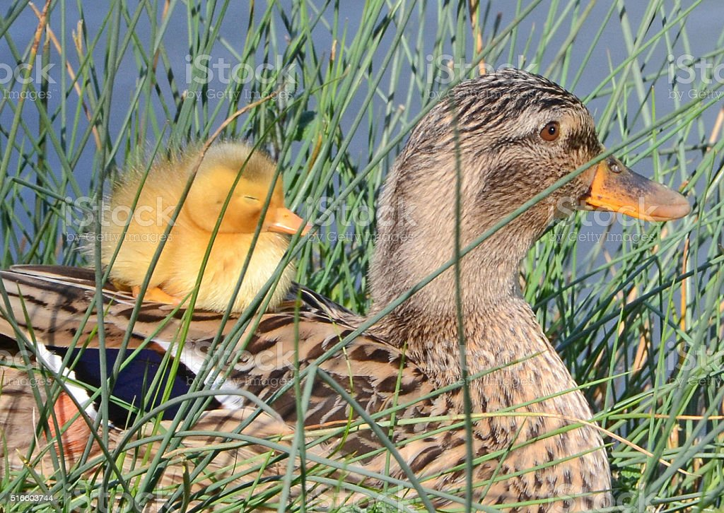 mother duck and duckling stock photo