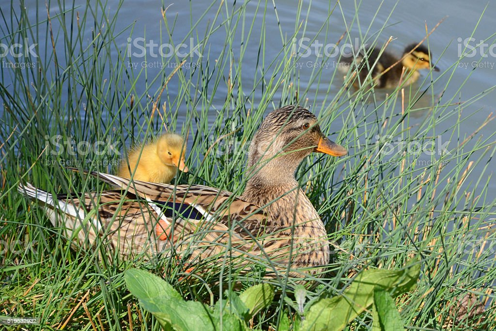mother duck and ducklings stock photo