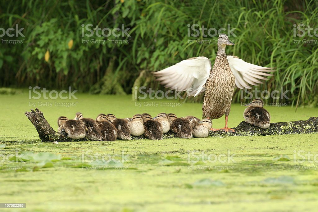 Mother Duck Watching Over Ten Ducklings Sitting on a Log stock photo