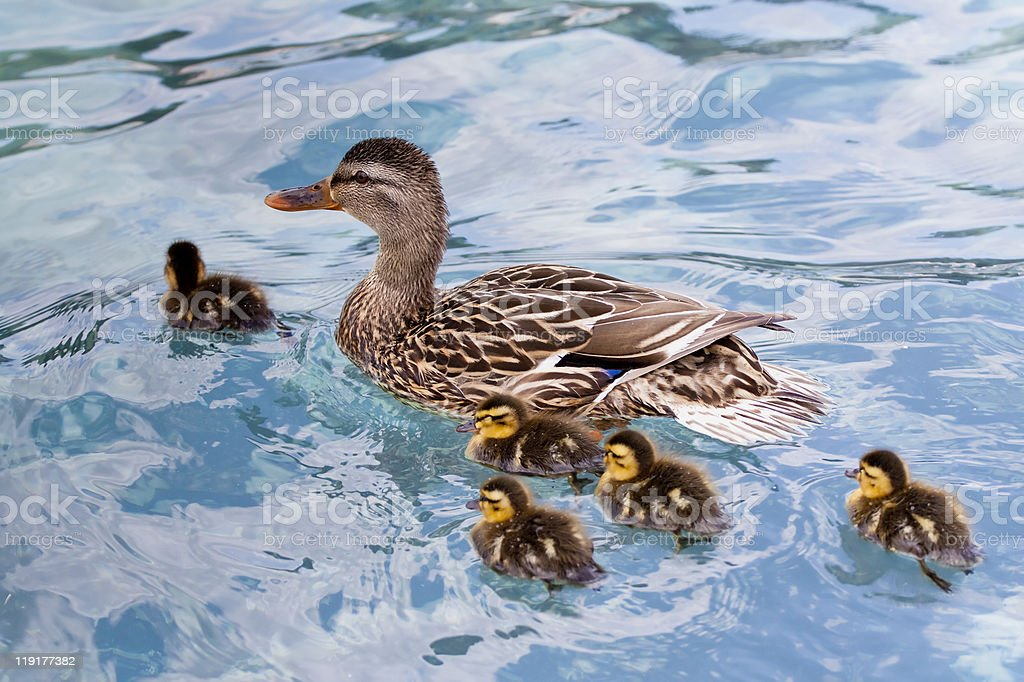 Mother duck with babies stock photo