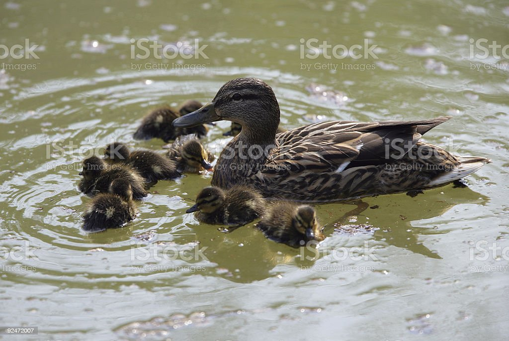 Mother Duck with her babys royalty-free stock photo