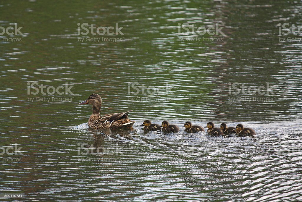 Mother Duck with her newborn offspring stock photo