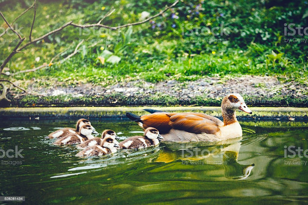 Mother duck with little chicks stock photo