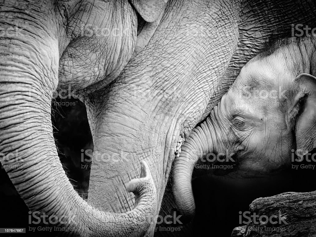 Mother elephant with baby, black and white Close-up stock photo